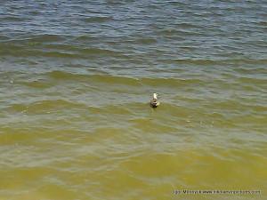 Птица на воде