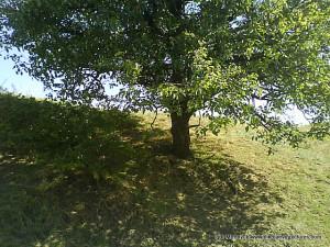 Дерево тени!